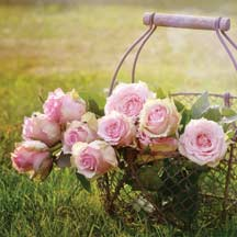 Roses in Wire Basket Used for Decoration in the Yard.